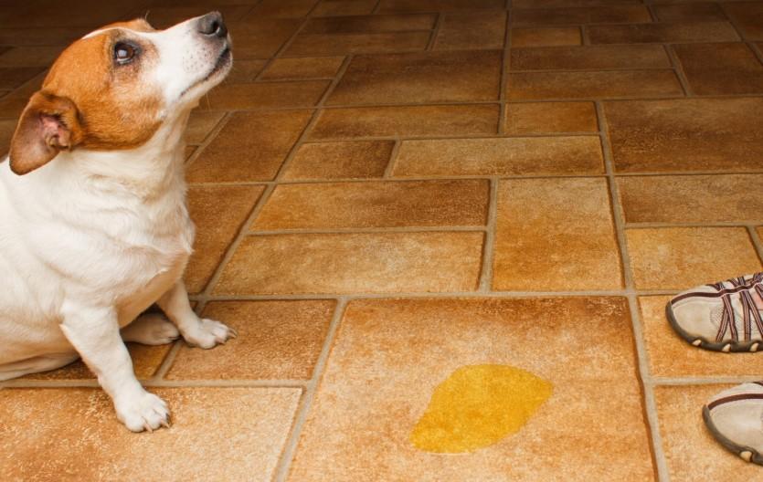 Dog pee on floor