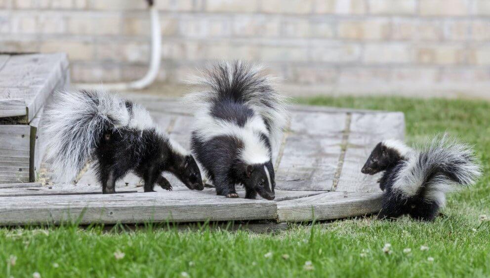 Skunks outside a house